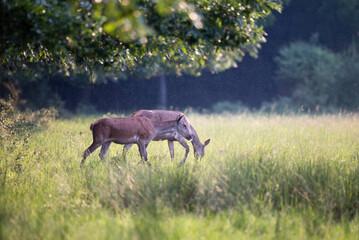Obraz na płótnie Canvas Red deer females walking on meadow in forest