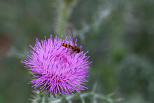 Bright Flies On Purple Flower Of The Thistle