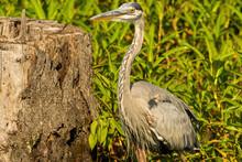 Great Blue Heron Ardea Cinerea Standing In A Marsh