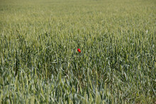 Beautiful Red Flower In The Middle Of A Green Field