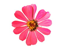 Pink Zinnia Flowers On White ...