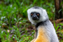 A Sifaka Lemur Sits In The Gra...