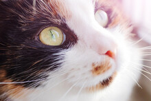 Cute Face Of A Tricolor Cat Wi...