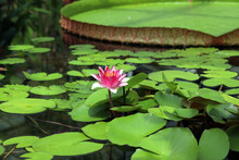 Tropical Water Lily Victoria A...