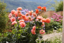 Pink Orange Coral Rose Bush  I...