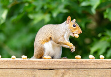 Close-up Of Squirrel Eating Peanuts In Shells