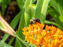 Macro Close Up Of Bee On Orange Butterfly Milkweed.