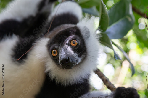 Photo A portrait of a black and white Vari Lemur