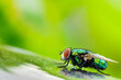 Leinwanddruck Bild - Close-up Of Housefly Perching On Leaf