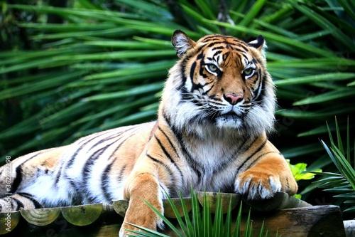 Obraz na płótnie Portrait Of A Tiger