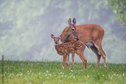 Photographie White-tailed deer doe and fawn on a summer morning