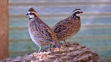 Close-up Of Bobwhite Quail Per...