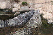 Two Alligators Resting Their H...