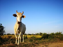 Cow Standing On Field Against ...