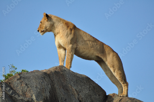 Fotografie, Obraz Low Angle View Of Lioness Standing On Rock Against Sky