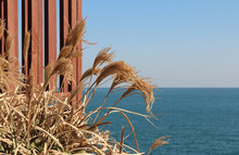 Pampas Grass With The Sea Back...