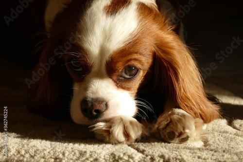 Fototapeta Close-up Portrait Of A Cavalier King Charles Spaniel Dog Resting