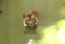 Sumatran Tiger Swimming In A Lake
