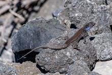 La Palma Lizard, Gallotia Galloti Palmae, Resting On Volcanic Lava Rock In Sunlight