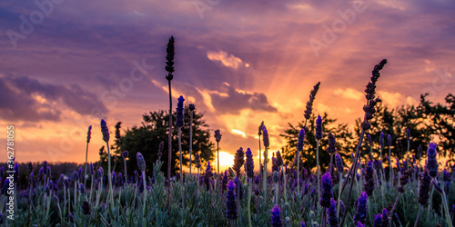 Fototapeta Scenic View Of Flowering Plants On Field Against Sky During Sunset