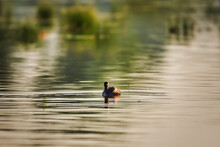 A Little Grebe Swimming In Golden Hours