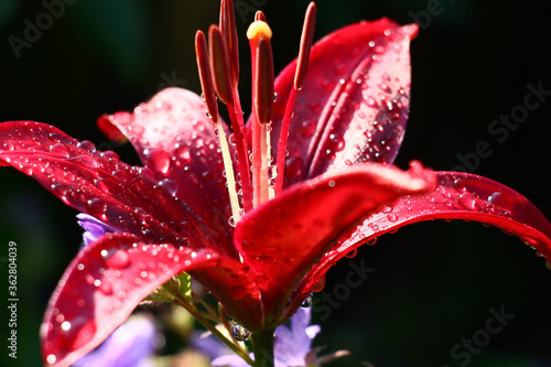 Solar summer morning after a rain. Single claret flower of a lily close up. On petals there are water drops. - 362804039