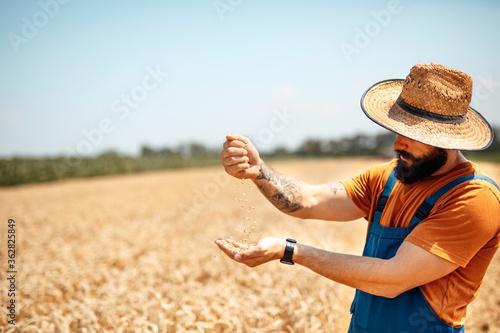 Obraz Young agronomist inspecting wheat quality. - fototapety do salonu