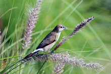 An Indian Silverbill Or White-throated Munia Perched On The Purple Fountain Grass (Pennisetum) At A Park In Sharjah With Nesting Material In Its Beak. Green Backdrop, Selective Focus.