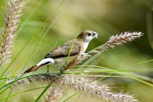 An Indian Silverbill Or White-...