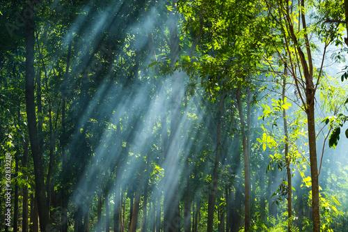 Obraz na płótnie Sunlight Streaming Through Trees In Forest