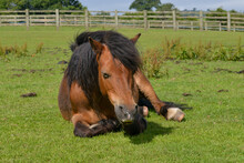 Pony Asleep In The Meadow.