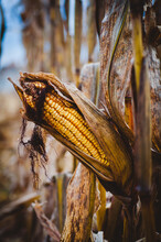Close-up Of Dried Field Corn On A Corn Stalk