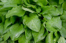 Leaves Of Hosta Plant After Ra...