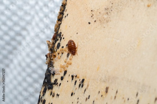 Bed Bugs with it's eggs and babies on a bed slates Fotobehang