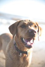 A Close Up Portrait Of A Healthy And Happy Labrador Retriever Dog Whilst Panting With Its Mouth Open