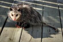 Possum In The Backyard