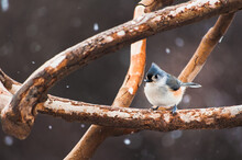 Close-up Of A Tufted Titmouse ...