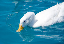 One White Lovely Duck Drinking Water In Blue Pond, Fresh Summer Day