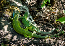 Green Lizard Detail In The Sun...