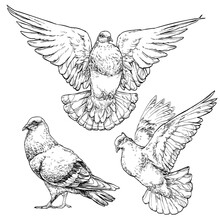 Hand Drawn Dove / Pigeon Set. Vector Illustration Isolated On White