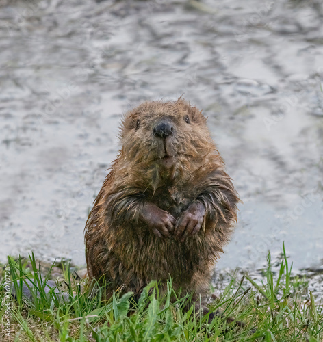 Canvas Print Baby Beaver Kit - A curious baby beaver emerges from the water, sits on its haunches and looks at the world around it