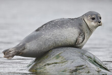 Harbour Seal On A Rock In The ...