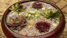 Collection Of Newly Planted Varieties Of Houseleeks (Sempervivum) In A Large Shallow Bowl. Added Texture Of Gardening Grit And Small Pebbles. Outdoors Landscape Image. England.