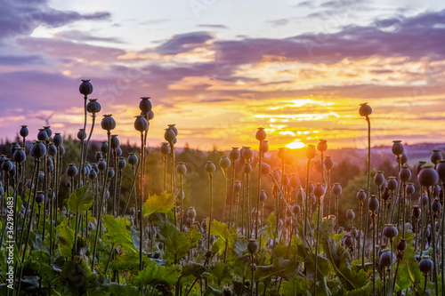 Leinwand Poster Sonnenaufgang über Mohnfeld im Vogtland