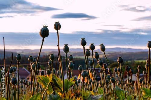 Foto Sonnenaufgang über Mohnfeld im Vogtland