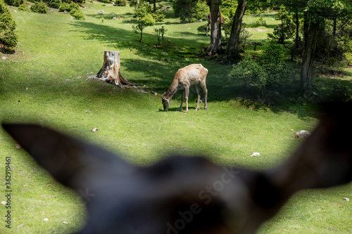 Family deers or roe deer in a green meadow in the wild. Wild male mammal in nature.