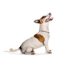 Jack Russell Terrier Photographed From A Side.Studio Isolated.