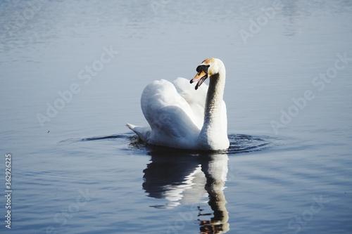 Cuadros en Lienzo Swan Swimming In Lake