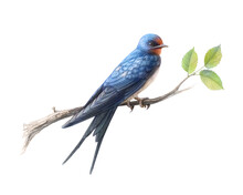 Hand Drawn Barn Swallow Perchi...