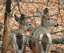 Close-up Of Two White Tailed Deer In The Forest